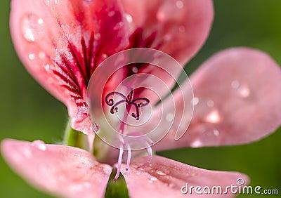Géranium de Rose