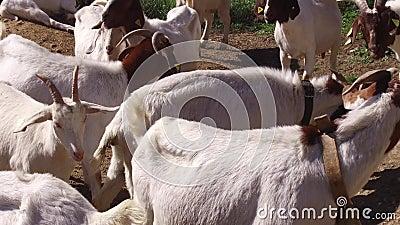 Granja de cabras en el país almacen de video