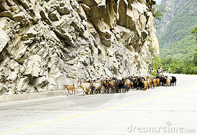 Granjero chino que reúne ovejas