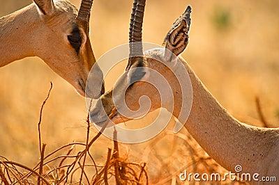 Grant´s Gazelles tenderness
