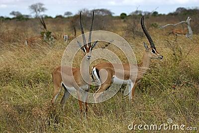 Grant Gazelles