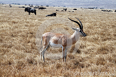 Grant gazzelle
