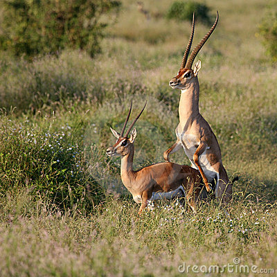 Grant s Gazelle mating