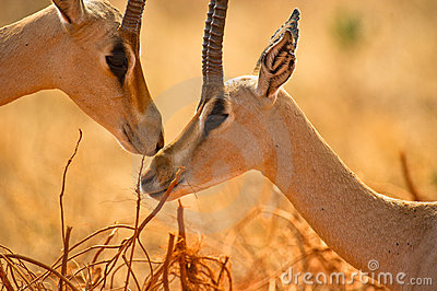 Grant´s Gazelles tenderness
