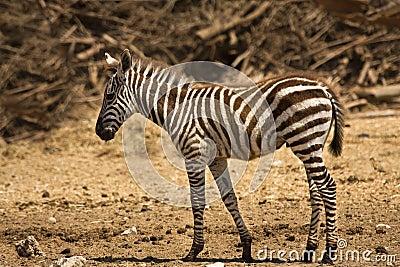 Grant s zebra foal