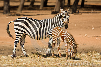 Grant s zebra with foal