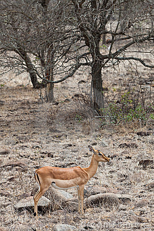 Grant's gazelle standing in a dry landscape