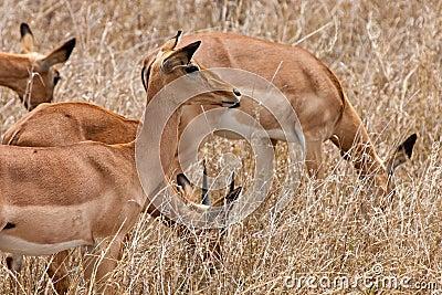 Grant's gazelles standing in long grass