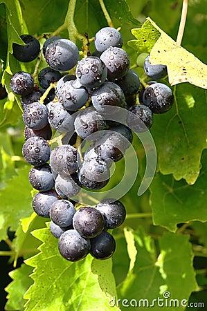 Delicious Grape