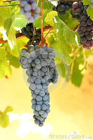 Free Grape Stock Photography - 27124752