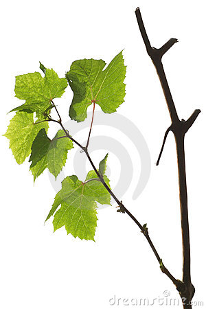 Free Grape Branch With Green Leaves Isolated On White Stock Image - 24172251