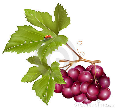 Grape cluster with green leaves, water drops and l