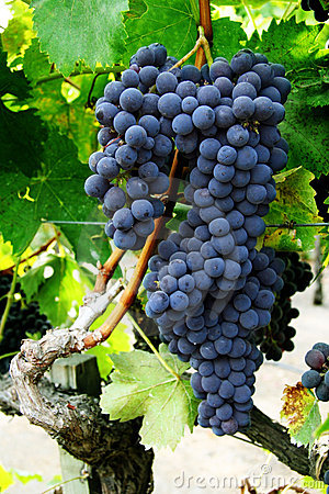 Free Grape Cluster On A Vine Royalty Free Stock Photos - 1319328
