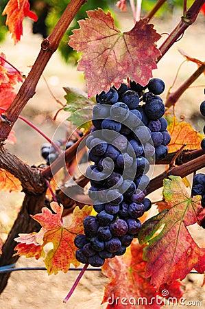 Grape cluster on vinetree