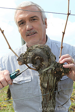 Free Grape Grower Cutting A Branch Royalty Free Stock Images - 21150099