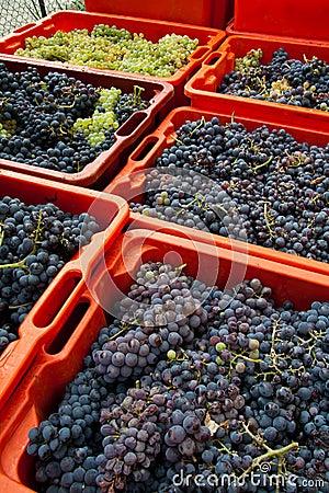 Grape harvest 08