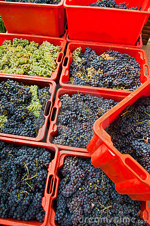 Grape harvest 10