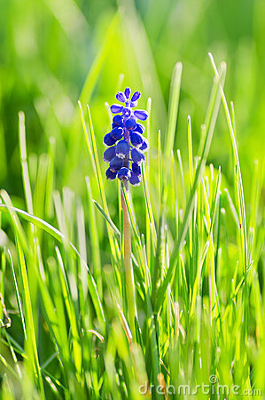 Free Grape Hyacinth Stock Photos - 19326353
