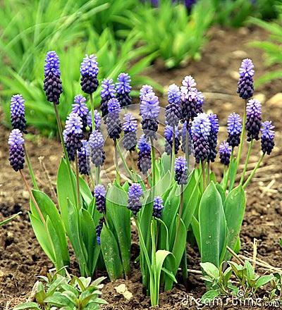 Free Grape Hyacinth Blue And Pink Stock Photo - 14585320