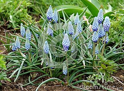 Grape hyacinth blue and pink