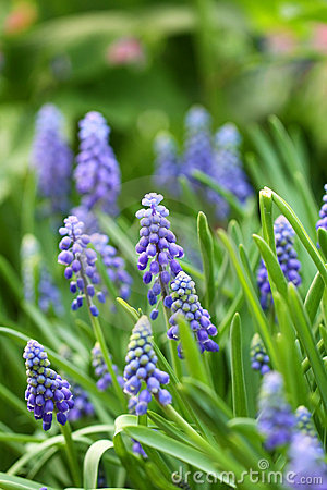 Free Grape Hyacinth In Spring Royalty Free Stock Photo - 18882925
