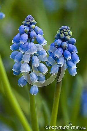 Grape hyacinth or muscari