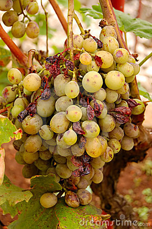 Grape illness/disease
