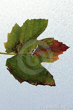 Grape leaf in autumn colors