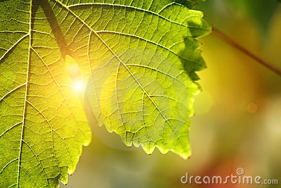 Grape leaf detail