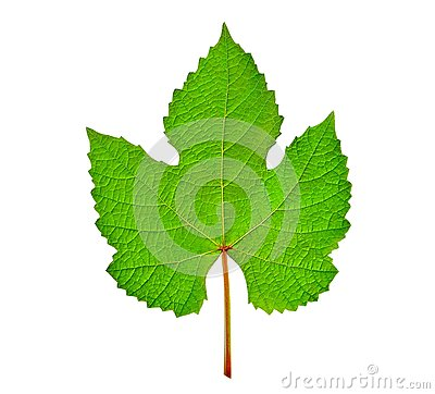 Free Grape Leaf Isolated Stock Photos - 55908033