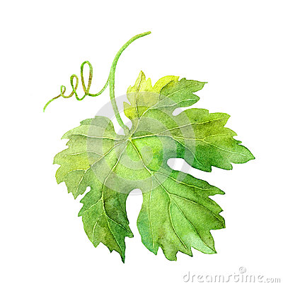 Free Grape Leaf Of Vine With Swirl. Watercolor Stock Photo - 74368380