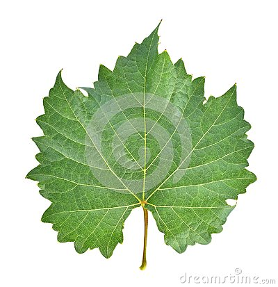 Free Grape Leaf On White Background. Royalty Free Stock Photography - 118078027