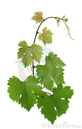 Free Grape Leaves Royalty Free Stock Photography - 10377887