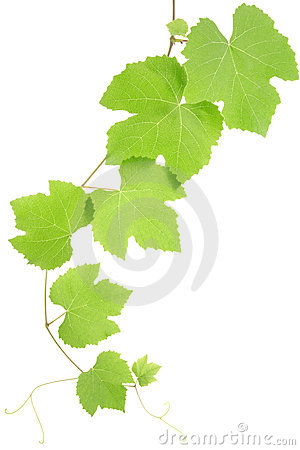 Free Grape Leaves Stock Images - 17010054