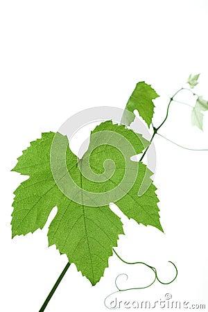 Grape-leaves