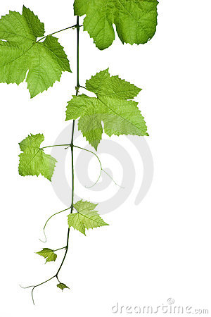 Free Grape-leaves Royalty Free Stock Photo - 3368435