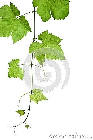 Free Grape-leaves Royalty Free Stock Photo - 3368435