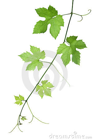 Free Grape-leaves Royalty Free Stock Photo - 5481725