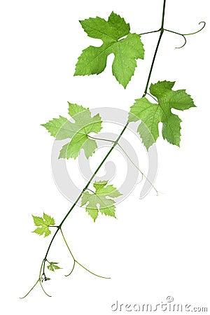 Free Grape-leaves Royalty Free Stock Photo - 5481725