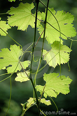 Free Grape Leaves Stock Images - 5584014