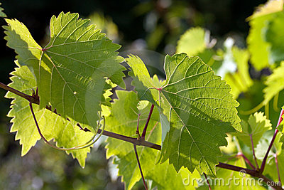 Grape leaves in the back lit