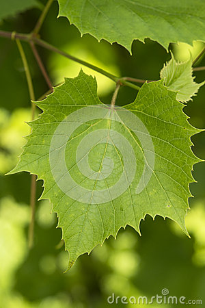 Grape leaves close-up