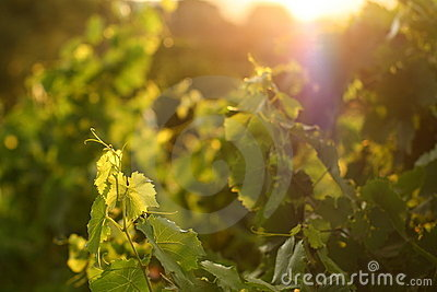 Grape leaves in sunset