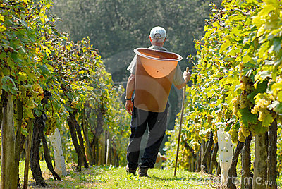 Grape - picker, carriers in vineyard