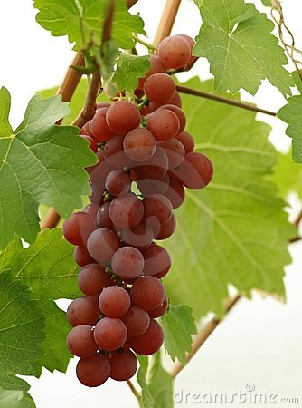 Grape ready for harvest