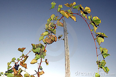 Grape stalks with sky