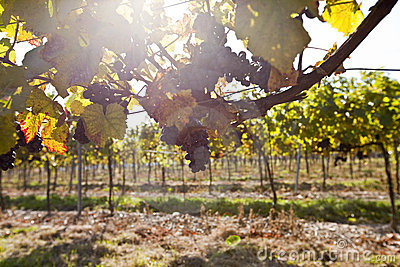 Grape in sunlight