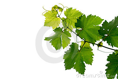 Grape vine
