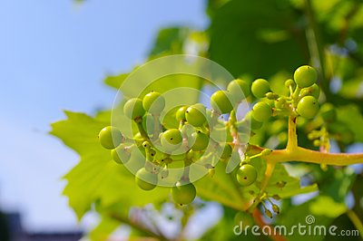 Grape-vine