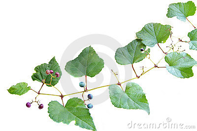 Grape vine from above